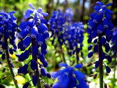 grape hyacinth (SS) Tags: camera blue light italy brown white black flower macro verde green nature colors beautiful weather yellow composition contrast forest canon garden landscape photography countryside focus colorful soft mood dof view angle bokeh pov year perspective scenic meadow favorites front powershot framing fiore bianco grape nero depth ambience comments hyacinth celeste blooming atmophere natureselegantshots a480 fleursetpaysages