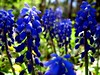 grape hyacinth (Stefano Rugolo) Tags: camera blue light italy brown white black flower macro verde green nature colors beautiful weather yellow composition contrast forest canon garden landscape photography countryside focus colorful soft mood dof view angle bokeh pov year perspective scenic meadow favorites front powershot framing fiore bianco grape nero depth ambience comments hyacinth celeste blooming natureselegantshots a480 fleursetpaysages