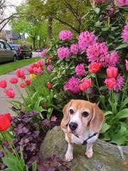 Spring Flowers (Kaiser the Beagle) Tags: dog flower beagle tulips dailydogchallenge