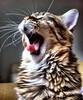 sonera (koheka) Tags: cat sleep tiger lazy gato bigode mustache preguiça tigre sono bocejo