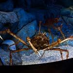 Japanese spider crab thumbnail