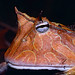 Suriname Horned Frog (Ceratophrys cornuta) close-up