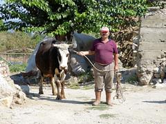 La vache et le paysan (Raymonde Contensous) Tags: turquie dzce seferihisar villagesturcs