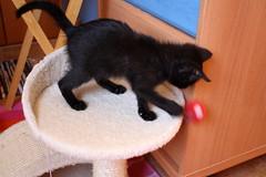 Gata Pucca (7) (adopcionesfelinasvalencia) Tags: gata pucca