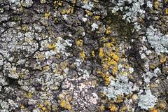 Lichen (Tobyotter) Tags: tree bark lichen
