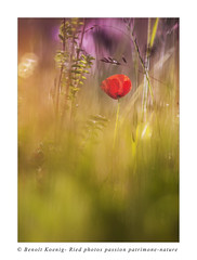 Coquelicot-3420 (Photo Passion Benoit) Tags: nature fleur rouge alsace prairies ried coquelicots