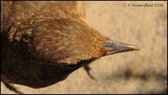 Bird viewed form above (Brian Flint) Tags: macro bird turdusmerula juvenile blackbird 10mmextensiontube tcon17