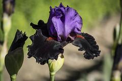 Lirio germánico (seguicollar) Tags: madrid iris flower azul bokeh flor lirio vegetal jardín vegetación jardínbotánico morado nikond5200 virginiaseguí