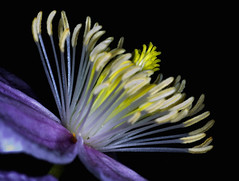 Clematis (efgepe) Tags: color colour macro vintage pflanzen clematis sigma mai nik makro farbe garten waldrebe 2016 colorefexpro sigma70mm sigma70mm28dgmacro