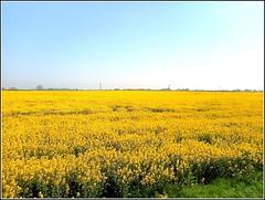 Bus Window View .. (** Janets Photos **) Tags: uk yellow rural fields eastyorkshire rapeseedflowers