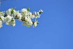 Plum tree in full bloom (Viktor-Persson) Tags: sky flower tree outdoor plum bluesky plumtree