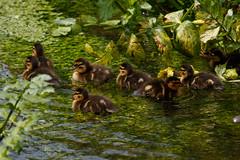 _F0A9696.jpg (Kico Lopez) Tags: birds rio spain aves galicia lugo mio anasplatyrhynchos anadeazulon