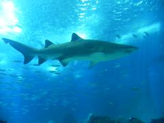 DSCN0404 (pablo.modo) Tags: portugal lisboa peces animales acuario tiburn
