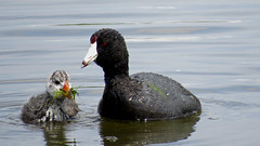 Coot Family (shesnuckinfuts) Tags: baby nature pond eating wildlife mama chick waterfowl coot americancoot fulicaamericana kentwa shesnuckinfuts boeingpond june2016