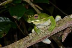 White-lipped Tree Frog (Litoria infrafrenata) (shaneblackfnq) Tags: york tree river giant rainforest iron north australia queensland tropical cape range far tropics lockhart peninsular fnq litoria infrafrenata shaneblack whitelipped