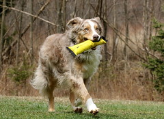 Playing Some Fetch (Diane Marshman) Tags: red dog pet brown white playing motion male nature dark fur spring action pennsylvania shepherd australian tan rusty size pa spots medium breed australianshepherd companion northeast fetch merle madie