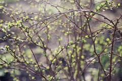 morning stars (irinabirdie) Tags: morning light film nature analog 35mm canon spring flora 35mmfilm april analogue analogphotography filmgrain naturephotography naturelovers canonfilm filmphotography filmphoto analoguephotography