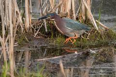Green Heron (NicoleW0000) Tags: ontario canada green bird heron nature photography fishing watching wetlands marsh