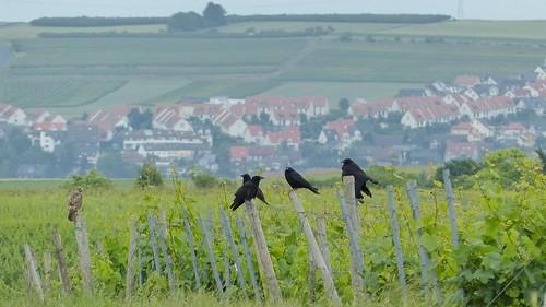 Greifvogel und Raben