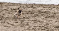 I'll Get it! (bill.finlay) Tags: beach pug