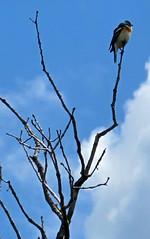 Eastern Bluebird (chickadee23) Tags: flowers mountains birds utah hiking trails views bluebird benlomond ogden easternbluebird waterfallcanyontrail