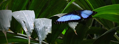 "Blue Morpho Butterfly (""Just an ol' nature boy takin' a picture"") Tags: leaves leaf mo foliage missouri tropical fujifilm branson bluemorpho thebutterflypalace xs1"