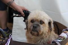 Chewbacca dog, Seattle (vtpoly) Tags: seattle usa dog cute dogs america washington little small parks chewbacca polywoda