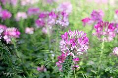 2016060810 (Yo Nguyen) Tags: cleome spiderflowers dalatcity hoatyip