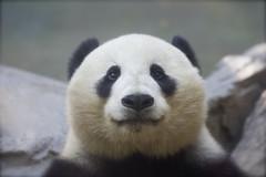 Happy Monday from San Diego California (Rita Petita) Tags: china california panda sandiego giantpanda sandiegozoo specanimal xiaoliwu