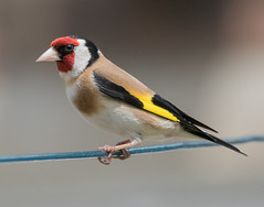 Goldfinch. (swanseajack2013) Tags: bird wales speed garden nikon wildlife south goldfinch fast sigma shutter perched 12000 d810 150600mm