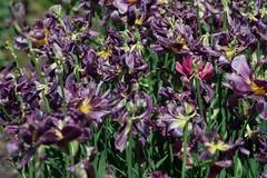 DSC_3928 (Copy) (pandjt) Tags: ca flowers canada bc britishcolumbia tulip abbotsford tulipfestival abbotsfordtulipfestival