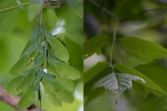 Boxelder (Acer negundo) (kecheeks803) Tags: maple southcarolina acer parksville boxelder acernegundo sumternationalforest mccormickcounty turkeycreektrail