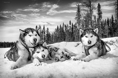 The incredibly marvelous team (camel.arnaud) Tags: chien dog sled traneau winter mush mushing group team pack husky malamute greenland greenlanddog eskimo esquimau qubec canada hiver