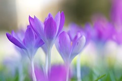 Crocus (.mushi_king) Tags: cambridge closeup spring crocus canon70200f4l 500d diopter dioptre