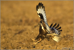 "Rough-legged Hawk (20120310-0186) (Earl Reinink) Tags: ontario canada bird art nature birds photography landscapes nikon hawk canadian niagara raptor earl bif ""bird ""nikon ""niagara photography"" ""birds ""nature ontario"" ""landscape ""fine ""earl peninsula"" flight"" lenses"" hawk"" d3"" ""hawk d3s"" reinink"" ""roughlegged"