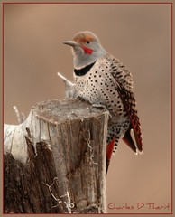 Northern Flicker - Red Shafted Male (ctofcsco) Tags: canon 7d 400mm 14x birdperfect allofnatureswildlifelevel1 allofnatureswildlifelevel2 allofnatureswildlifelevel3 allofnatureswildlifelevel4 sunrays5 onlythebestofnature allofnatureswildlifelevel5 allofnatureswildlifelevel6 allofnatureswildlifelevel7 allofnatureswildlifelevel8 allofnatureswildlifelevel9 explore extender bird nature wildlife ef400mm f28l ii usm ef400mmf28liiusm telephoto bokeh ef14x extenderef14xii colorado co unitedstates usa northamerica eos eos7d mark1 marki teleconverter best wonderful perfect fabulous great photo pic picture image photograph