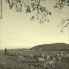 El Pastor (m@tr) Tags: barcelona bw espaa naturaleza blancoynegro monocromo olympus ovejas elpastor reportaje epl1 mtr marcovianna pastordeovejas fotosderipollet zuikoed1442mmf3556 ripolletnatura