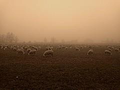 Pecore nella nebbia (AndreaPizzocchero) Tags: campagna nebbia paesaggio pecore pavese oltrepo