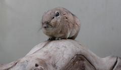 Pissed Hamster (tsdtsdtsd) Tags: animal delete10 delete9 delete5 delete2 delete6 delete7 delete8 delete3 delete delete4