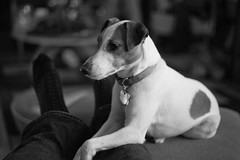 Blank Stare (joshames) Tags: christmas blackandwhite dog home michigan lansing jackrussellterrier griz 2011 grizwald