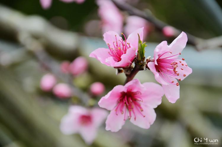 拉拉山水蜜桃花12.jpg