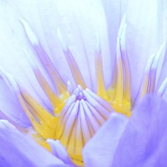 (kathleen walsh) Tags: yellow waterlily lavender