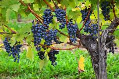 Pinot Noir (Thomas Roland) Tags: travel autumn ontario canada america vineyard nikon noir estate state wine vine tourist niagara winery grapes vin province pinot ripe vineland escarpment moden rejse efterår druer vinstok copyrightthomasroland
