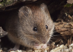 Bank Vole (John (Gio) * OVER 100,000 VIEWS *) Tags: nature mammal kent wildlife olympus gio smallmammal fourthirds bankvole muridae clethrionomysglareolus zuikodigitaled50200mmf2835swd