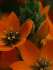 an orange concert (g.fulvia) Tags: flowers orange flower botanicalgarden ornithogalum bulbosa liliacea itsallaboutflowers
