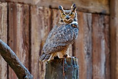 Horned Owl (Adrian Court LRPS) Tags: birds orlando asia florida disney owl perch shows waltdisneyworld animalkingdom waltdisney hornedowl themeparks flightsofwonder