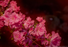 Storm Soaked Pink Azaleas on Linen (Chris Lafort) Tags: flowers floral azalea rainsoaked pinkazaleas nikond700