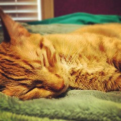 (kittykat) Tags: blue orange cute animal cat nose eyes furry soft kitty whiskers sleepy asleep tilly fawkes iphone atilla instagram