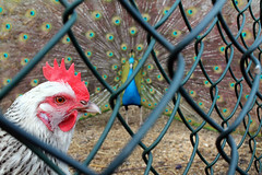 The Cage Fight (Larking About) Tags: chicken peacock rooster hen birdwatching spnc instruction11