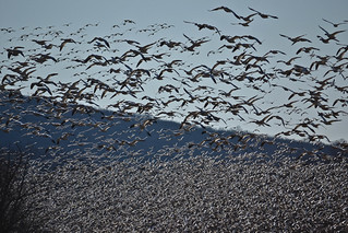 That's a lot of geese!